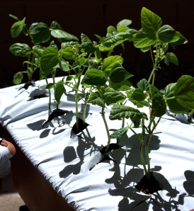 green-beans-april